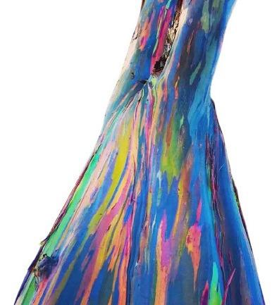 Imagem 1 de 6 de 300 Sementes Eucalipto Arco Iris Deglupta Colheita Própria!