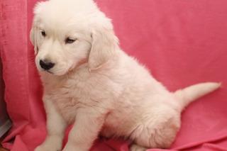 Cachorros Golden Retriever Para Adopción
