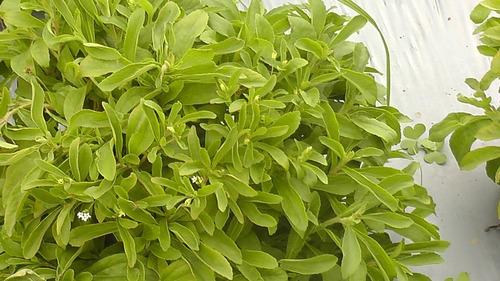 Hojas Stevia Deshidratada