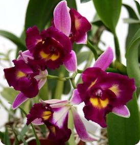 Orquídea Blc Chinese (muda)
