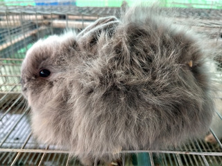Conejo Jersey Woolly (angora Enano)