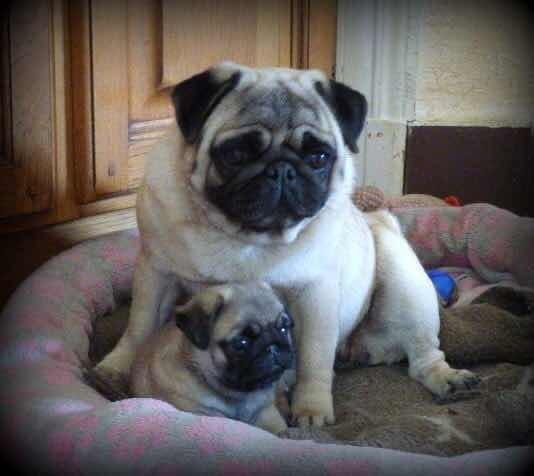 Cachorros Pug Hembras Y Machos Disponibles