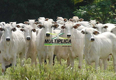 Fazenda Prata Mg Para Pecuária, Casa, Curral - 31 Alqueires - 124