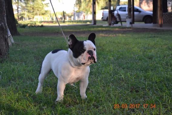 Bulldog Frances Para Servicio De Stud, .