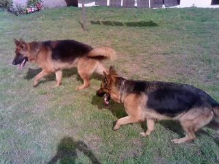 Cachorros Pastor Aleman Envios A Nivel Nacional
