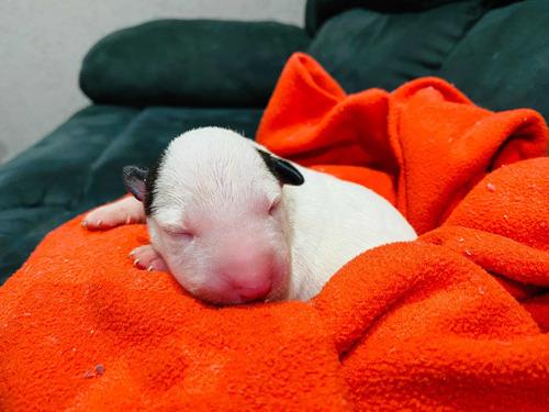 Imagem 1 de 5 de Filhotes De Bull Terrier Inglês