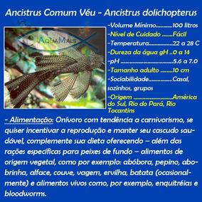 Cascudo Ancistrus Veu 5-7cm - Ancistrus Dolichopterus