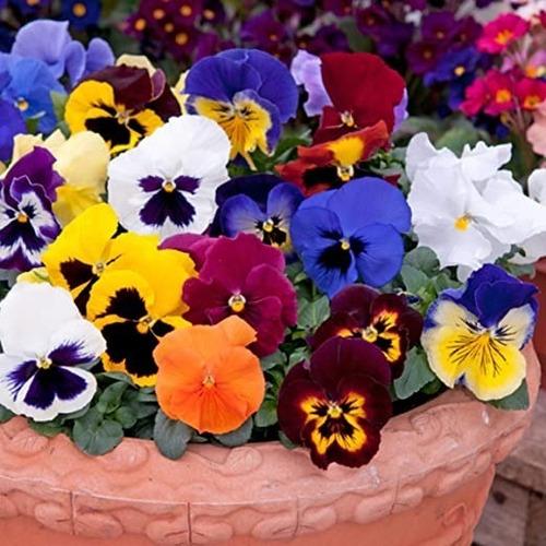 50 Semillas Flor Pensamiento Mezcla + Obsequio Germinación