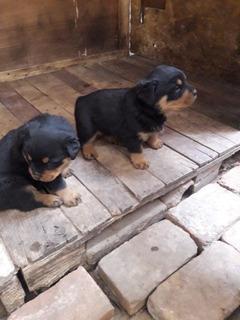 Cachorros Rottweiler Aleman