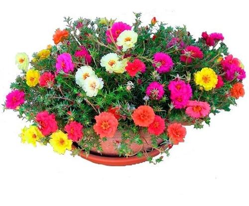 2000 Sementes Da Flor Onze Horas Dobradas E Triplas Sortidas