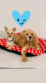 Adopción De Perro Chihuahua Y Cocker