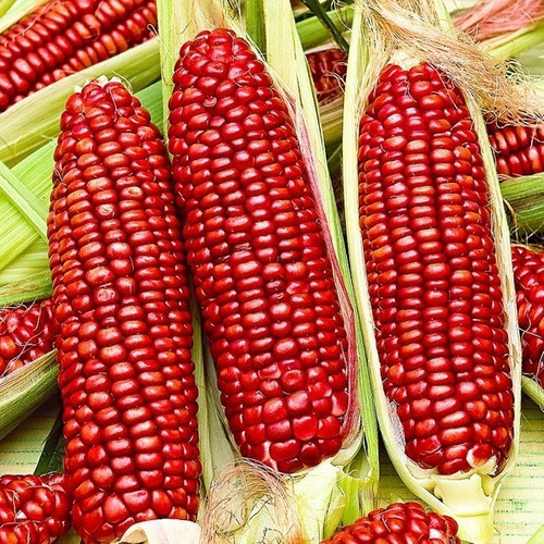 Imagen 1 de 7 de 15 Semillas Maiz Rojo Bloody Butcher Heirloom Comestible