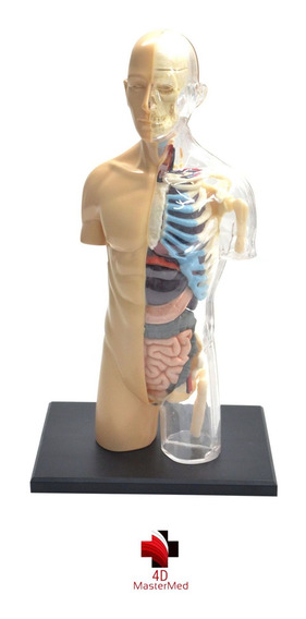 Modelo Do Corpo Humano - Torso Transparente 083 - 4d Master