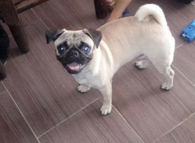 Hermoso Perro Pug Para Monta...info Al 3148688723
