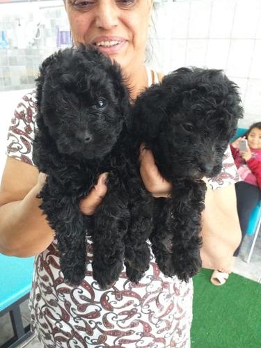 Filhotes De Poodle Pais No Local Retire Ou Eu Entrego