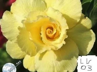 Muda Rosa Do Deserto Enxertada Duas Amarelas