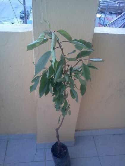 1 Arbolito De Cerezo Japones Kwanzan Real Prunus Serrulata