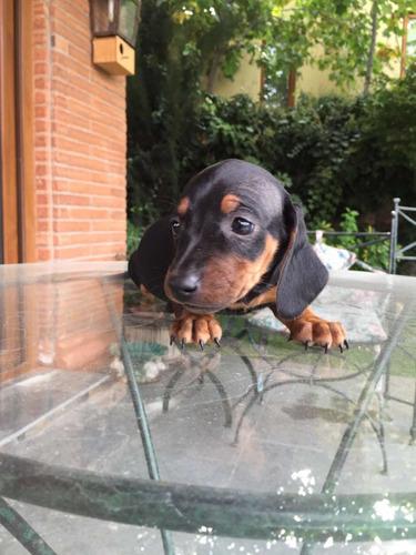 Hermosos Cachorros Salchichas Mini