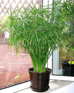 Plantas Cyperus Alternifolius, (sombrilla China) 3 Esquejes