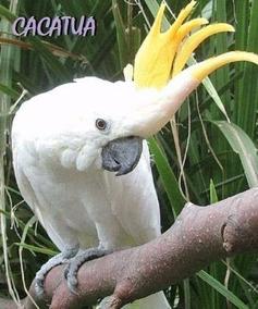 150 Cantos De Pássaros: Sabiá Juriti Curió Canário Cacatua B