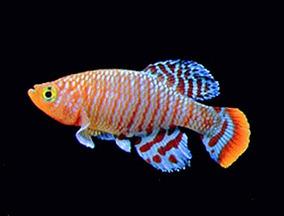 Apostila Aprenda Tudo Sobre A Criação De Killifish
