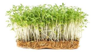 Sobre Para Sembrar 50 Plantas De Berro Ideal Germinados