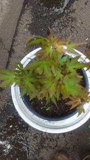 Maple Palmatum ( Pre Bonsai ) 3 En Existencia Ver Fotos *