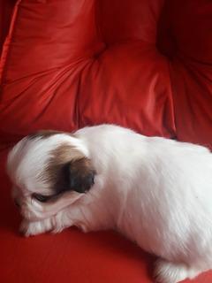 Cachorros, Mascotas Shitzus Tricolor Mini.