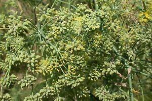 Semillas Hinojo Dulce Comestible 1 Kg Para Miche