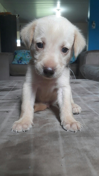 Filhotinho De Labrador Puro.