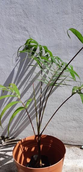 Areca Roja (cyrtostachys Renda) Viveros De Los Tuxtlas