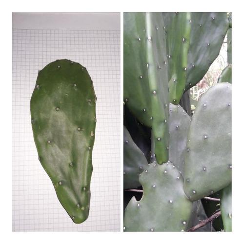 Imagen 1 de 2 de Cactus Nopal