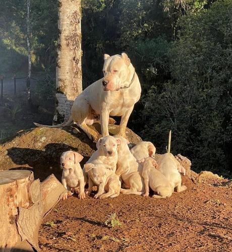 Imagem 1 de 3 de Vendo Filhotes Dogo Argentino. Pais Com Pedigree.