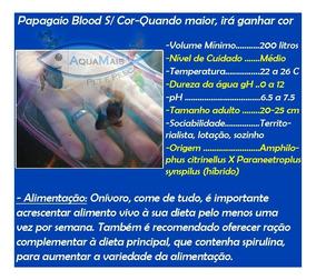 Papagaio Blood Sem Cor Pq 3-4cm - Amphilophus Citrinellus