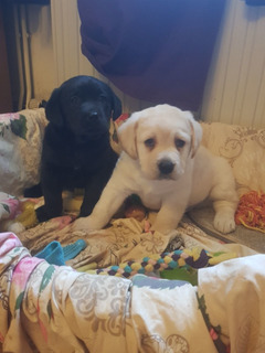 Labradores Pedigrí Para Adopción