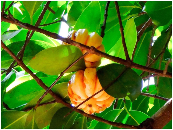Plantas De Garcinia Cambogia En Mercado Libre Mexico