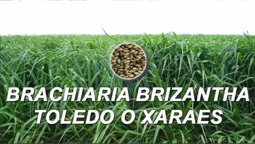 Brizantha Toledo Semillla 100% Brasilera Bolsa 1 Kilo