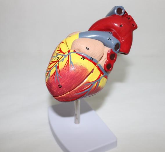 Coração Tamanho Natural Modelo Anatômico 2 Partes + Legenda