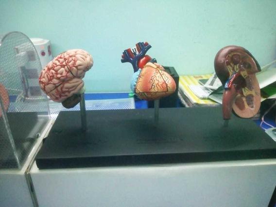 Modelo Anatomico De 3 Piezas Corazon Cerebro Y Riñon