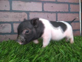 Calidad Y Servicio, Minipigs Mini Pig Minipig Apartados