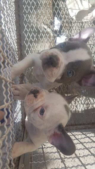 Bulldogue Francês Filhotes Bluepied, Geneblue(leia Anúncio