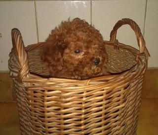 Apuestos Cachorros Frech Poodle Mini Toy Tacita De T Enanos