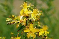 Antidepressivo Natural, Hiperico, 500 Sementes Para Plantar