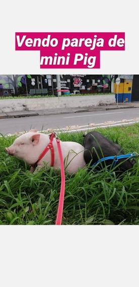 Vendo Pareja De Mini Pig Vietnamita En Villavicencio