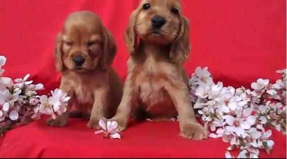 Cachorros Cocker Spaniel Dorados Excelencia!machos D Ensueño