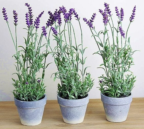 Imagen 1 de 3 de Paquete 5 Plantas De Lavanda Aromática