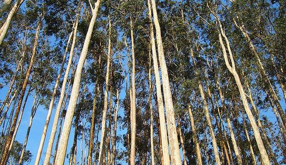Eucalipto Citriodora 3200 Sementes *****frete Grátis R2