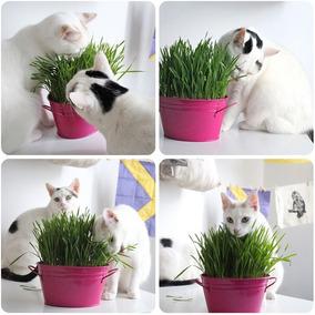 1000 Sementes Grama Dos Gatos Cat Grass - Não Pague Frete