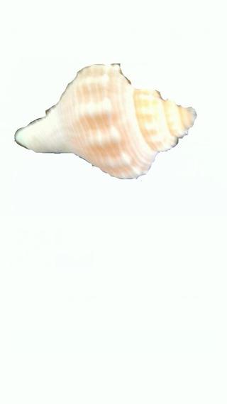 Concha De Mar.invitaciones.100 Piezas.recuerdos,manualidades