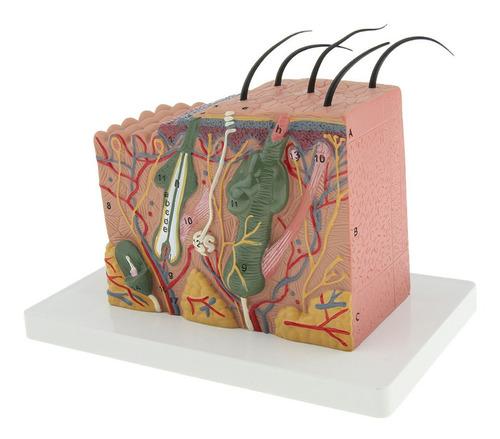 Bloco Modelo Pele Humana Anatomia Escala 35:1